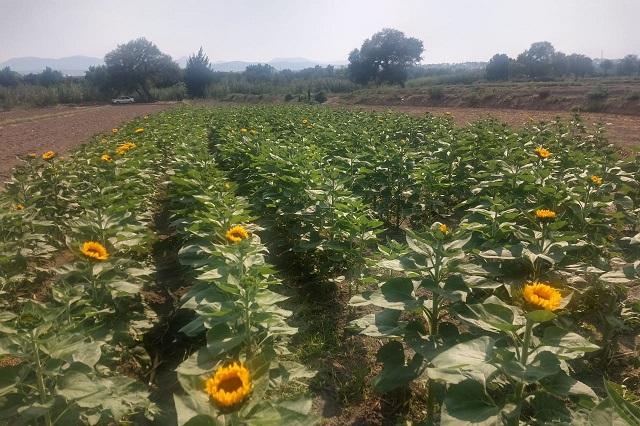 Urge vender producción de girasol en Tehuacán