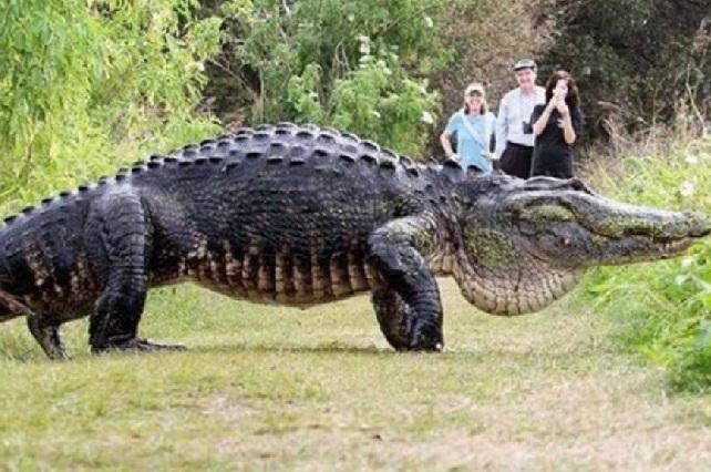 Godzilla se pasea por Florida: Enorme cocodrilo impacta a turistas