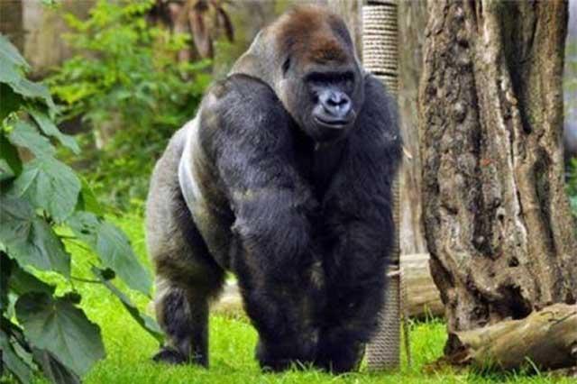 La Sedema afirma que el gorila Bantú no murió por sobredosis de fármacos