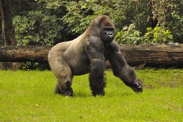 La Profepa no encontró responsables de la muerte del gorila Bantú