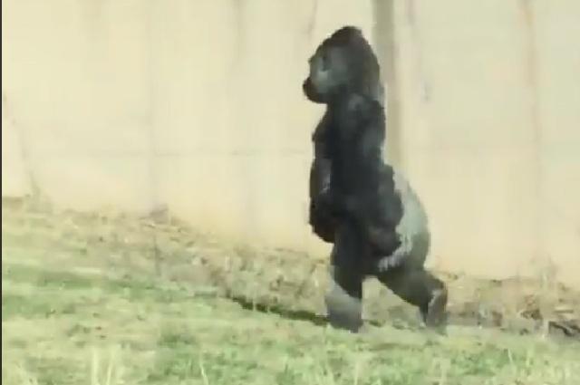 Gorila que camina como humano para no ensuciarse las manos causa asombro