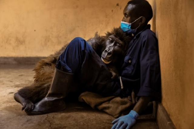 Gorila muere en brazos de su cuidador de toda la vida