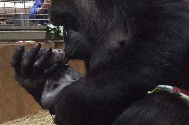 Video en Twitter muestra el tierno beso de una gorila a su bebé recién nacido