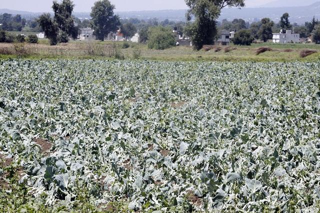 Por sequía y granizada, daños en 31 mil hectáreas de cultivos