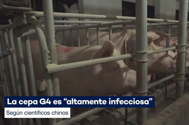 Nueva gripe porcina G4, potencial nueva pandemia que amenaza al mundo