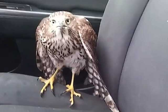 halcon_1 video viral halcón huye del huracán harvey y se refugia en un taxi