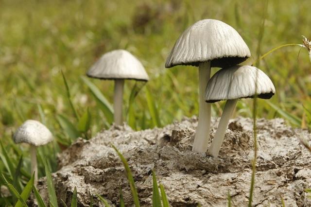 Familia muere en Acajete por ingesta de hongos venenosos