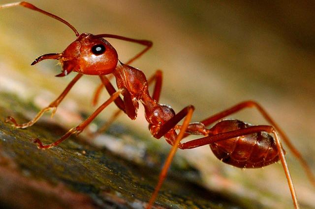 Mexicana colabora en investigación sobre la primera hormiga mutante