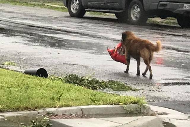 Otis, el perro que huyó del huracán Harvey y su foto se viralizó