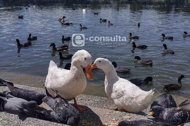 Planean desalojar patos de la Laguna de Chapulco, acusan
