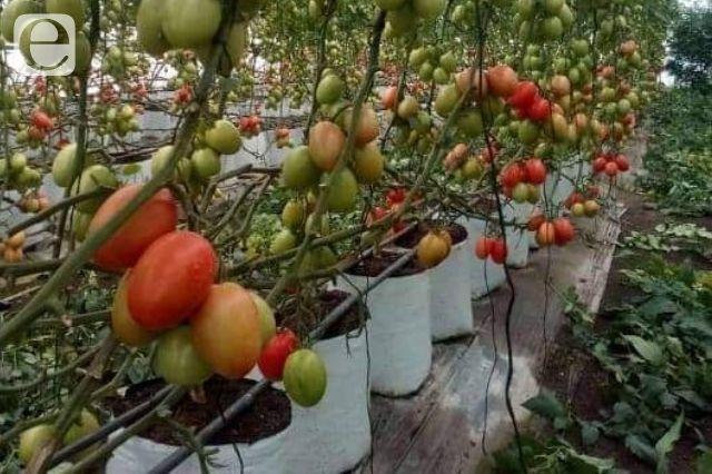 Invernaderos en Tepanco reducen al 50% agua en galerías