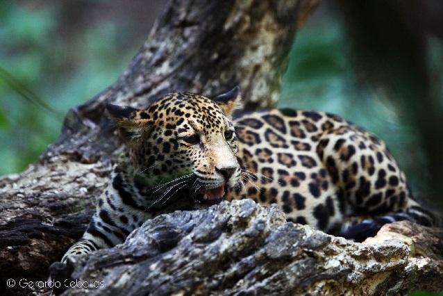El jaguar, una especie en peligro de extinción: UNAM
