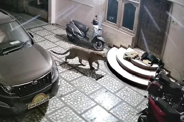 VIDEO: Jaguar ataca a un perro y le da terrible mordida en el cuello