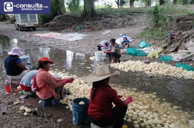 Productores de jícama se quedan sin puntos de venta por Covid
