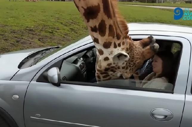 Video: Jirafa sorprende a una mujer en su auto y su reacción es viral