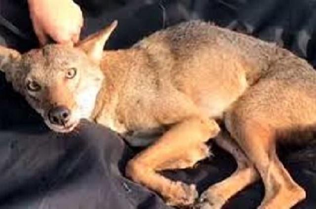 Joven rescató a un perro que en realidad era un coyote