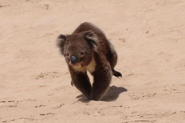 Captan a koala paseando en las playas de Australia