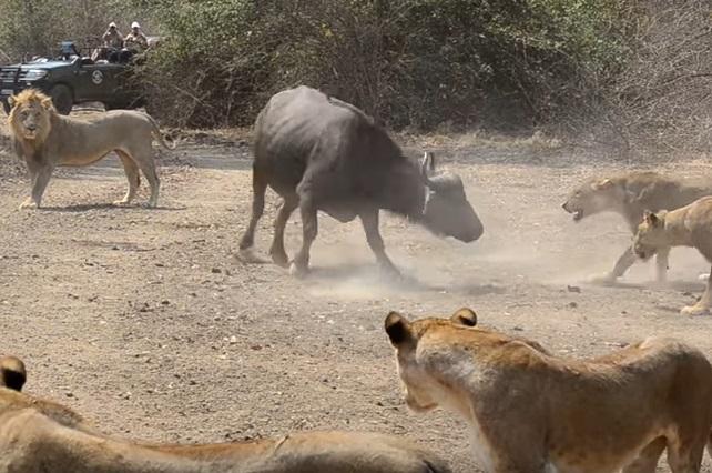 Video de búfalos con un león que enfrentan a grupo de leonas se viraliza