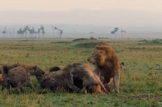 Video viral: León salva  su amigo de ser devorado por hienas