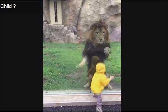 León intenta cazar a niño, pero es detenido por un vidrio