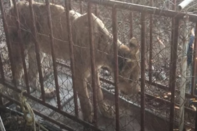 Encuentran a leona desnutrida en domicilio