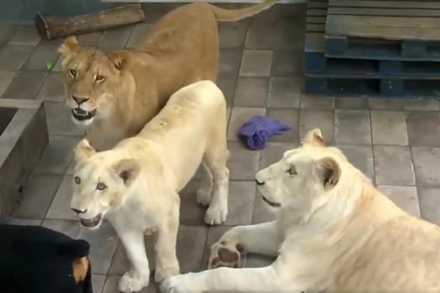 Profepa asegura a 3 cachorros de león que tenían en azotea de Viaducto