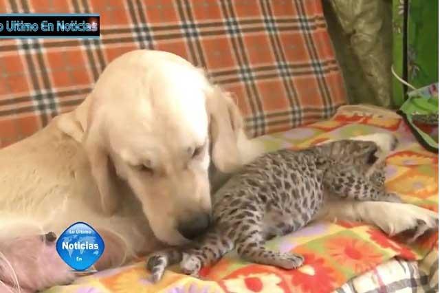 VIDEO VIRAL: Perrita amamanta a cachorro leopardo y le salva la vida