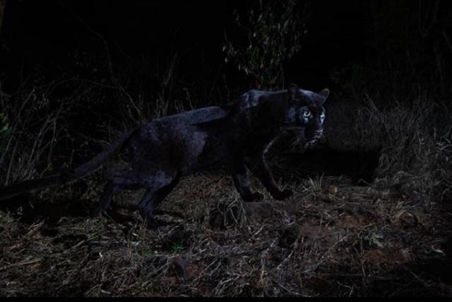 Por primera vez en 100 años, logran captar a un leopardo negro en África