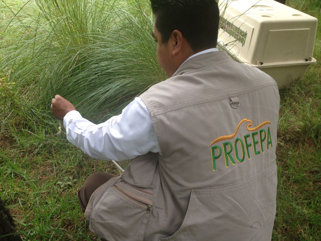 Reintegra la Profepa 5 ejemplares  de vida silvestre a La Malinche