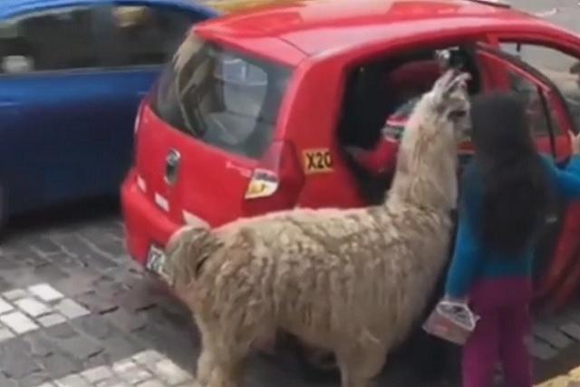 Esta llama viaja en taxi y es un fenómeno viral