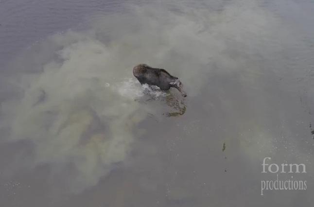 Dron graba el ataque de un lobo contra un alce y la pelea que se desató