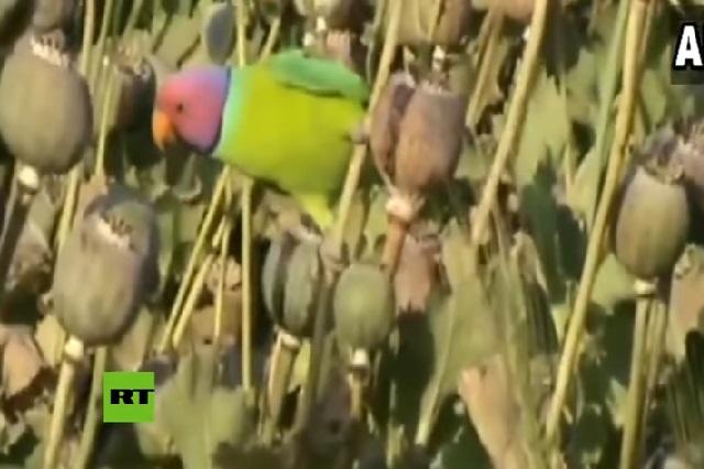 ¿Loros drogadictos? Manada de aves se dedica a robar opio
