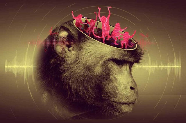 Macacos pueden seguir ritmo al procesar con su cerebro el movimiento