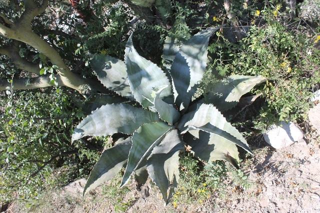 Siembran agaves en Zapotitlán Salinas para producción de mezcal