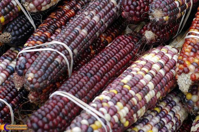 Transgénico el 90% del maíz de las tortillas en México: UNAM