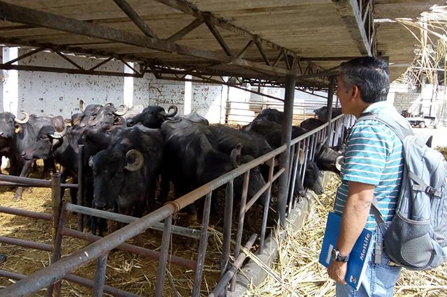 Asegura Profepa a 44 búfalos con signos de mal trato y desnutrición