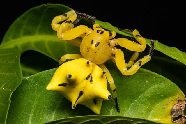 Descubren nueva especia de mantis religiosa en Brasil
