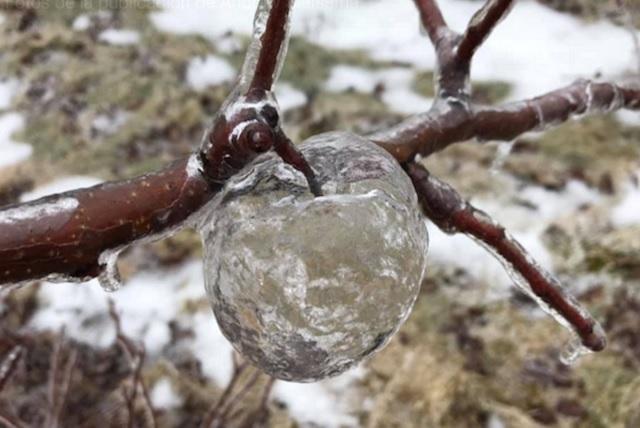 Aparecen manzanas fantasma en huerto helado