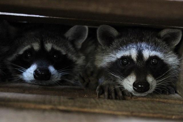 Nacen mapaches y coyotes en el parque Flor del Bosque