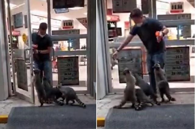 Grupo de mapaches 'increpa' a clientes de Oxxo para pedir comida