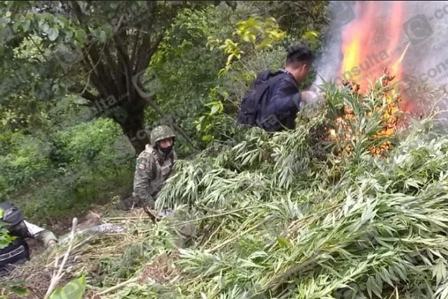 Destruyen plantío de mariguana en Zapotitlán de Méndez