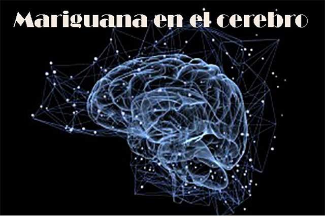 La mariguana y sus efectos en el cerebro humano