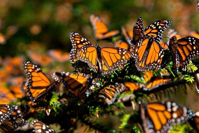 En riesgo, la migración de la mariposa monarca