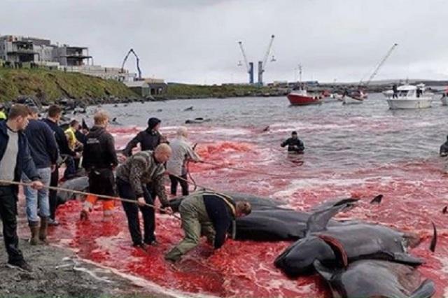 Nueva matanza de ballenas y delfines pinta de rojo las Islas Feroe