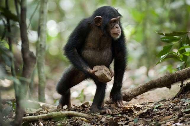 Natasha, la chimpancé genio que logró conversar con humanos