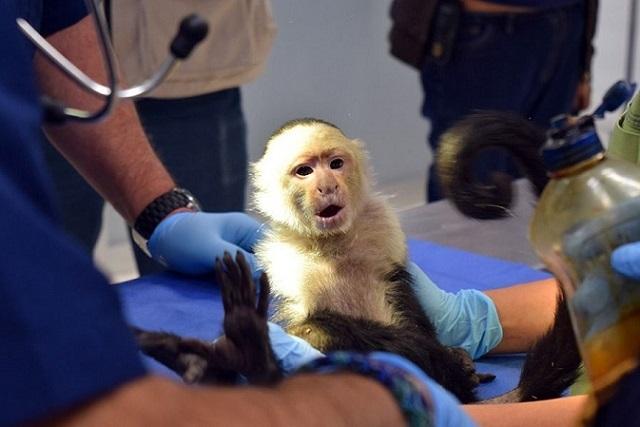 Mono Capuchino se quedará a vivir en el Zoológico de Chapultepec