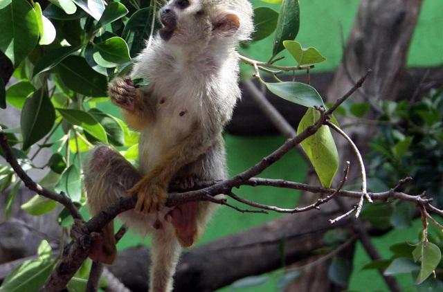 Monos roban muestras de sangre positivas a covid-19