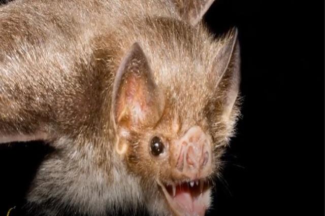 ¿Por qué los murciélagos sobreviven al coronavirus?