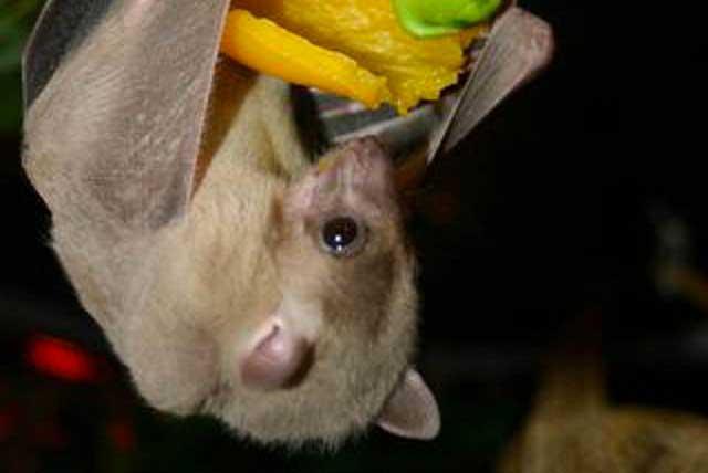 Cuatro especies de murciélagos en México en peligro de extinción