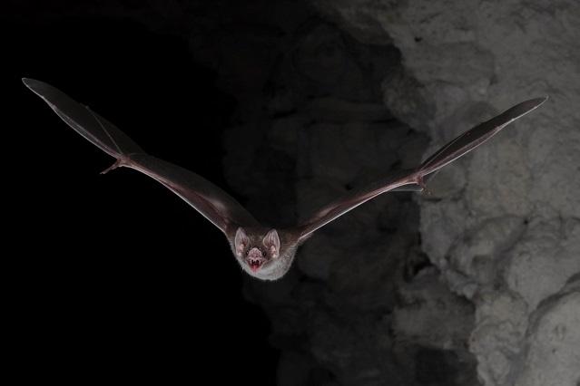 Revelan adaptación de murciélagos para alimentarse sólo de sangre